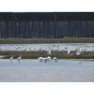 2.1嘉義布袋鹽田的台灣艾貴義竹發電廠,是台灣目前最大生態與光電結合的地面型案場,友善環境引來黑面琵鷺等保育類鳥類在案場棲息渡冬。圖片由美商韋能能源提供-624x468.jpg